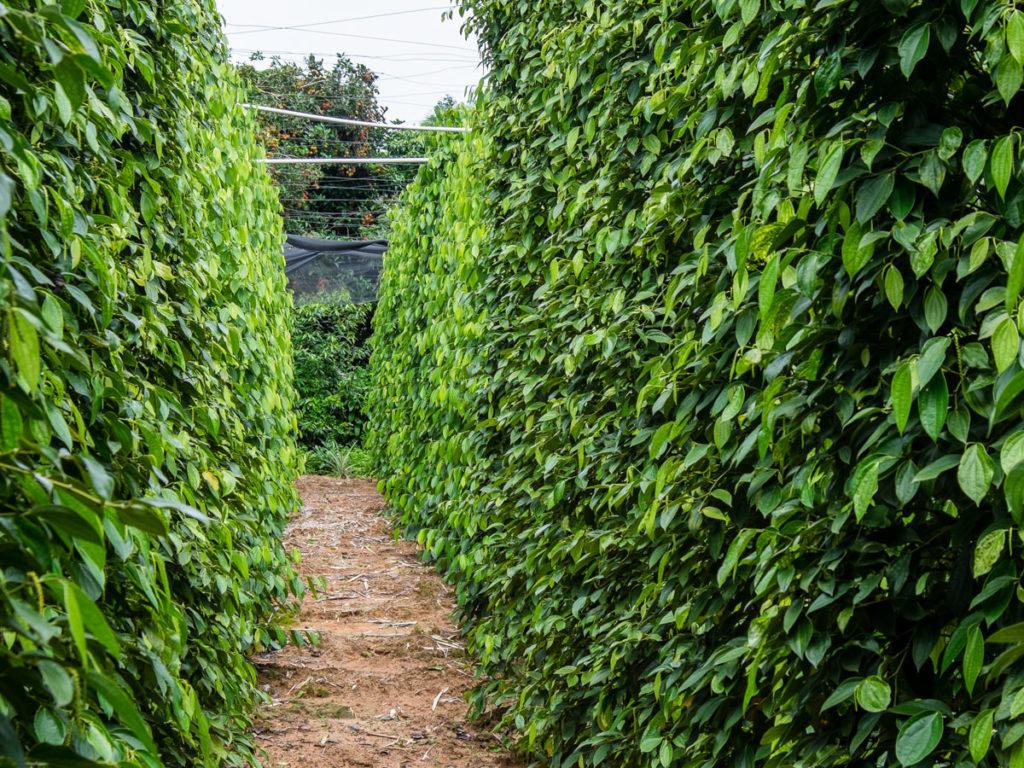 piantagione di pepe