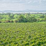 Nasik Vineyards 4